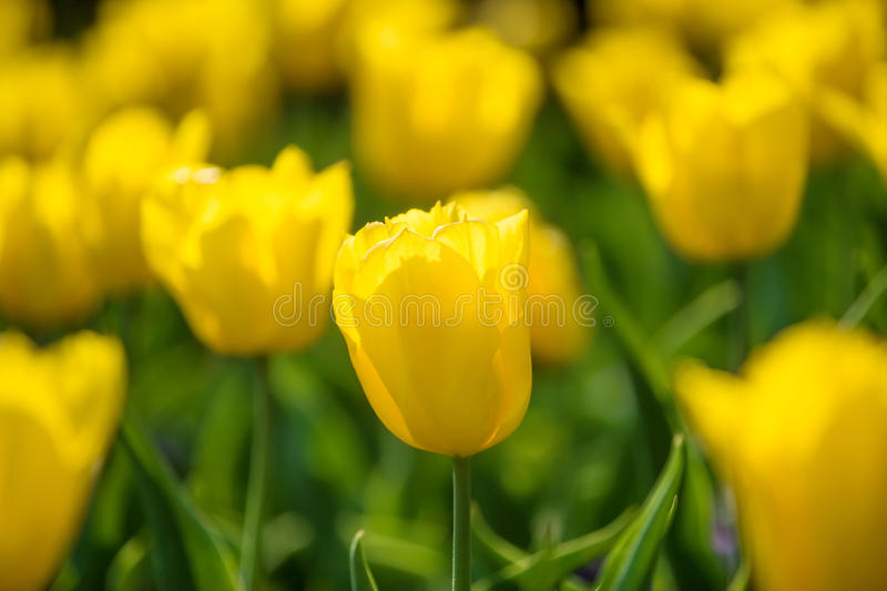 Field of yellow tulips royalty free stock images