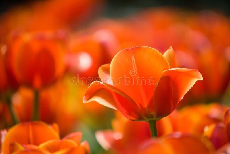 Field of orange tulips stock photos