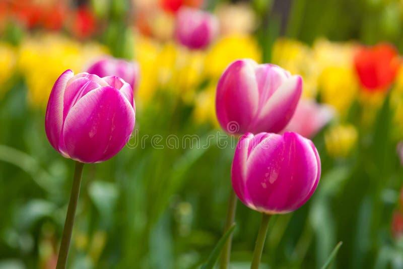 Field of purple tulips royalty free stock image