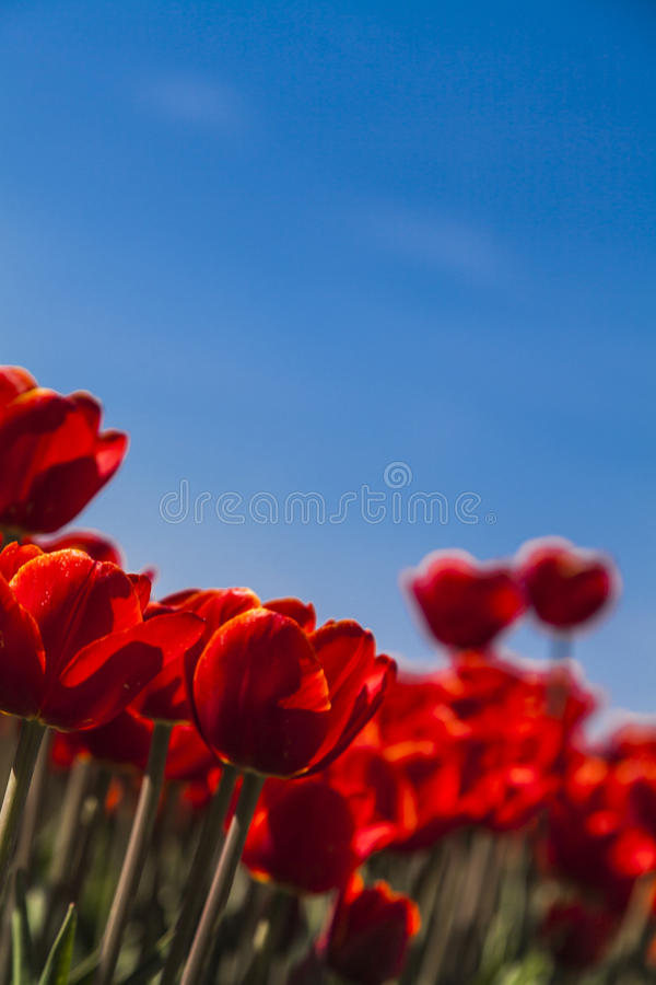 Field of tulips. In the spring sunny day stock images