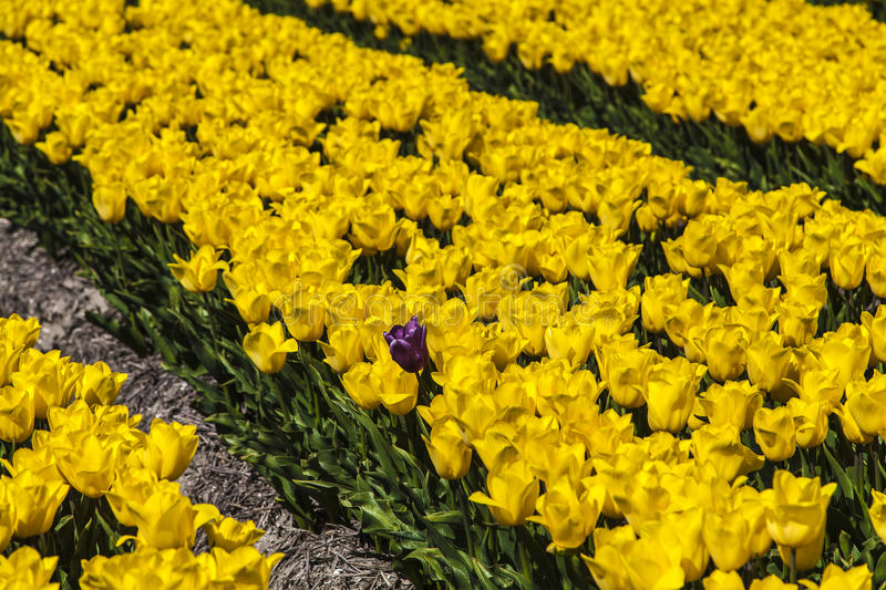Field of tulips. In the spring sunny day royalty free stock photo