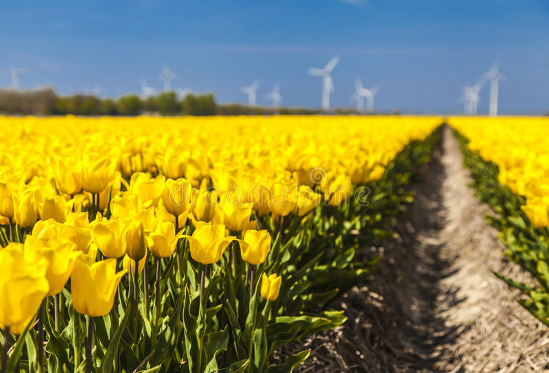 Field of tulips. In the spring sunny day royalty free stock photos
