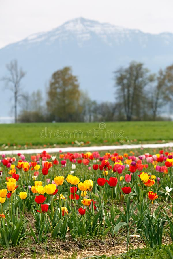 Field of tulips. View of the Alps mountain range. royalty free stock photography
