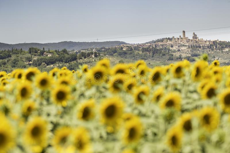 A Field of Tuscan Sunflowers stock photography