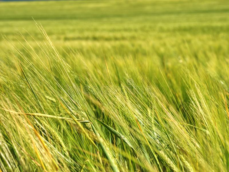 Field of unripe cereals. Field in sunny day. Oat, rye, barley royalty free stock image