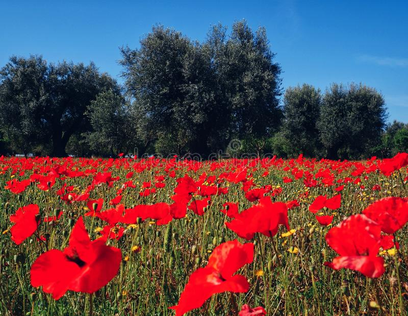 The Field van Papaver royalty-vrije stock foto's