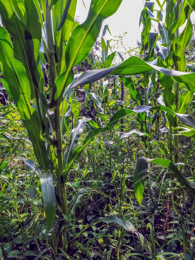 Field view of corn cultivation from the inside stock image
