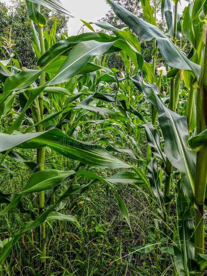 Field view of corn cultivation from the inside stock photo