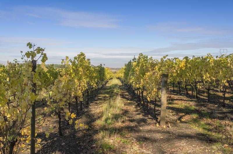 Field of vineyards Willamette valley Oregon. stock photo