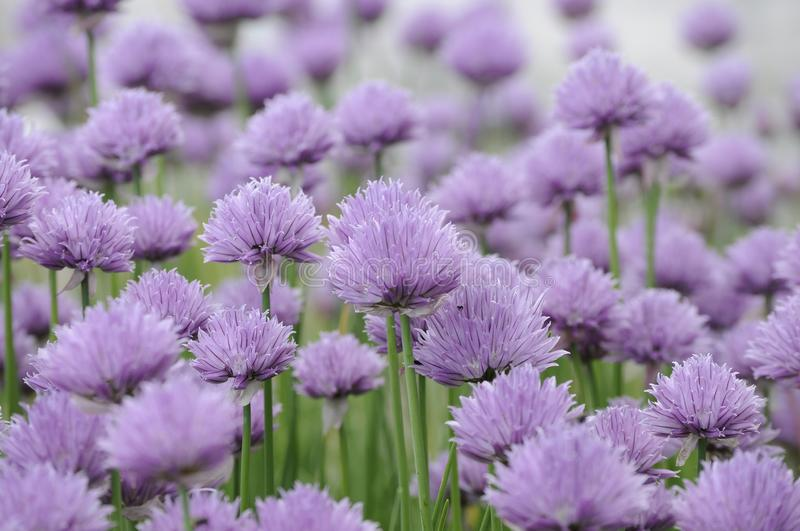 Field of violet blossoms of chives in sunlight of summertime garden. Beautiful field of violet blossoms of chives in sunlight of summertime garden with blurry royalty free stock image