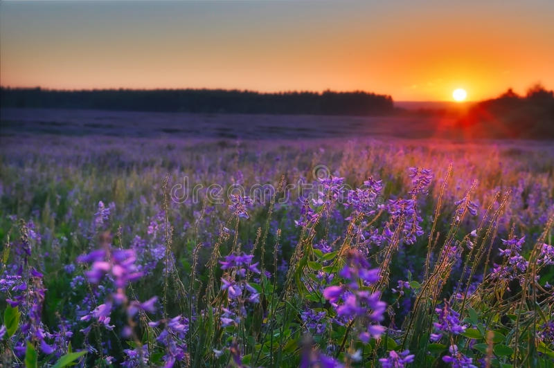 Field with violet flowers at sunrise stock photography
