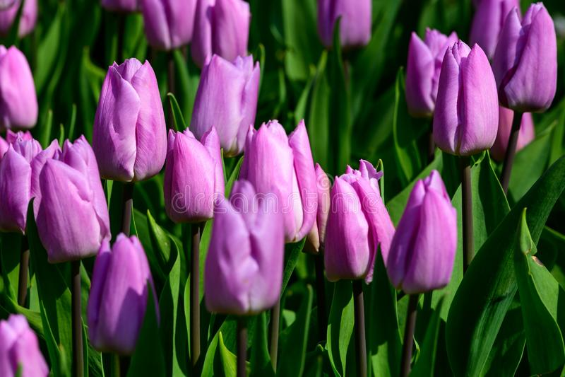 Field of violet tulips in Holland , spring time colourful flowers royalty free stock image