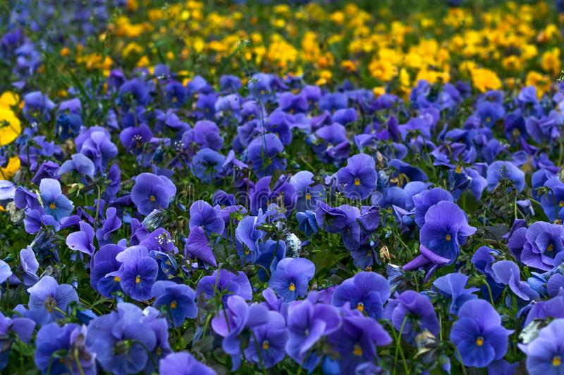 Field of violet pansies. Floral pattern. Flower background, decoration, design. Purple viola. Spring season. Heartsease, pansy clo royalty free stock photo