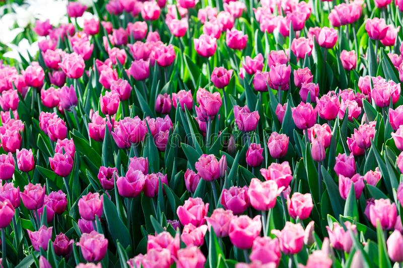 Field of violet pink tulips with selective focus. Spring, floral background. Garden with flowers. Natural blooming royalty free stock photo