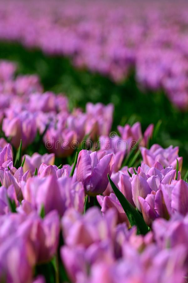 Field of violet tulips in Holland , spring time colourful flowers royalty free stock images