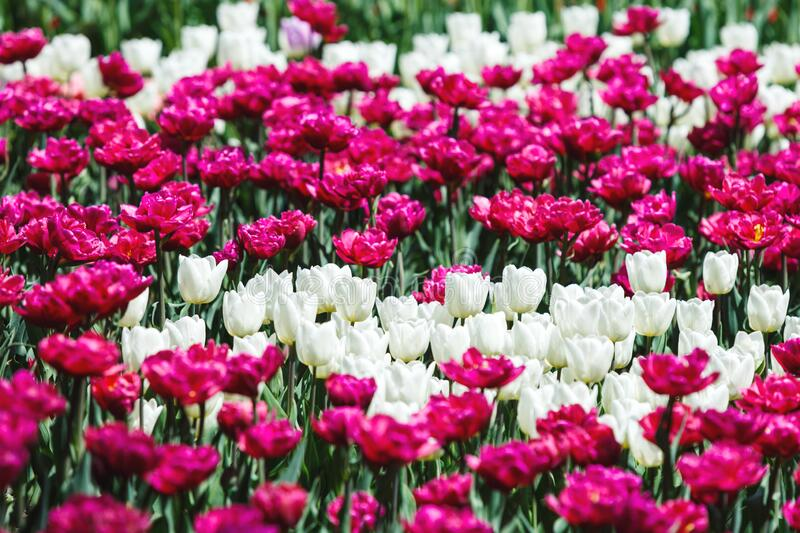 Field of violet and white tulips with selective focus. Spring, floral background. Garden with flowers. Natural blooming royalty free stock image