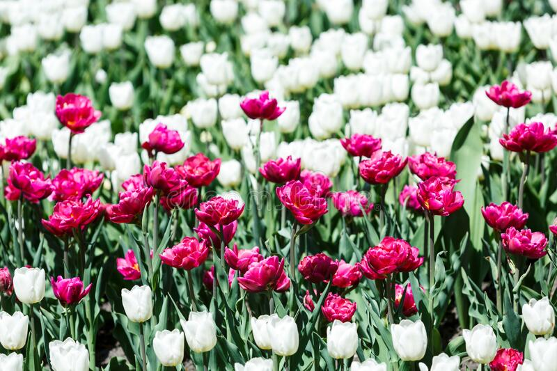 Field of violet and white tulips with selective focus. Spring, floral background. Garden with flowers. Natural blooming stock photos
