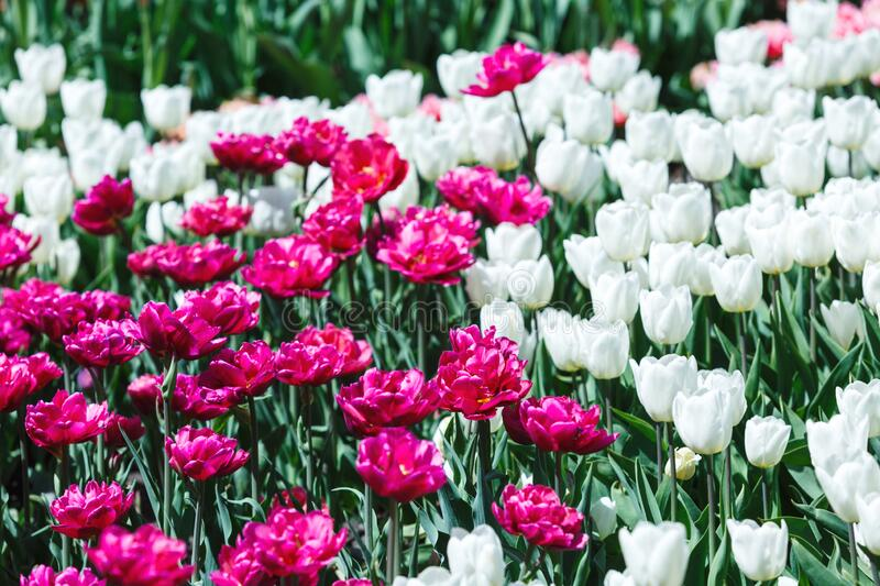 Field of violet and white tulips with selective focus. Spring, floral background. Garden with flowers. Natural blooming stock photo