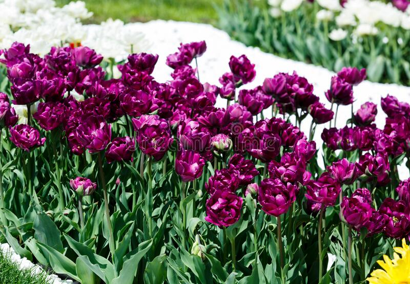 Field of violet and white tulips with selective focus. Spring, floral background. Garden with flowers. Natural blooming royalty free stock photography