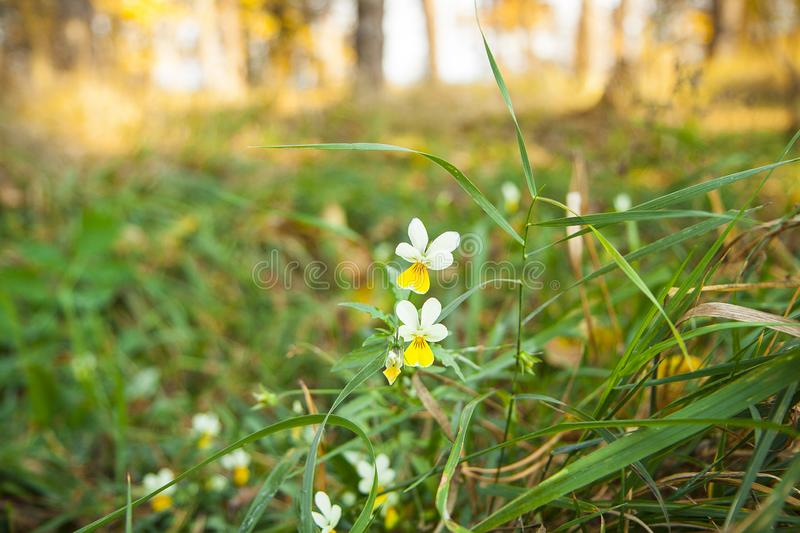 Field violets. Small white flowers and grass in the forest on a blurred background. royalty free stock photos
