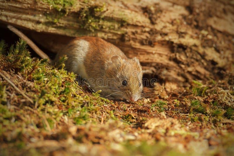 Field vole foraging under fallen tree stock images