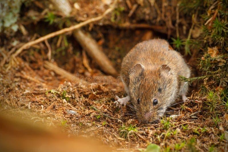 Field vole foraging under fallen tree stock photo