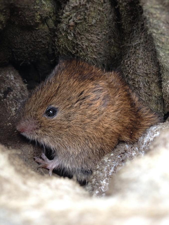 Field vole. Hiding in a glove mouse royalty free stock image