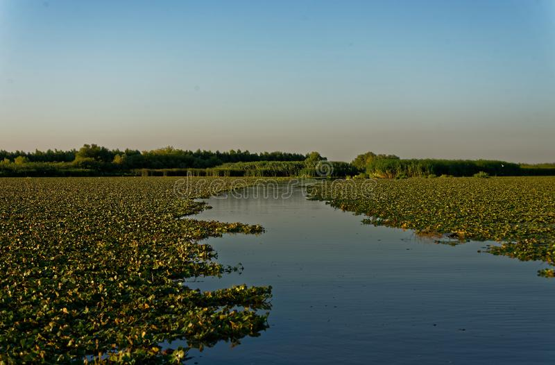 Field of water chestnuts. A channel through a field of water chestnuts in Danube river delta in Romania royalty free stock photography