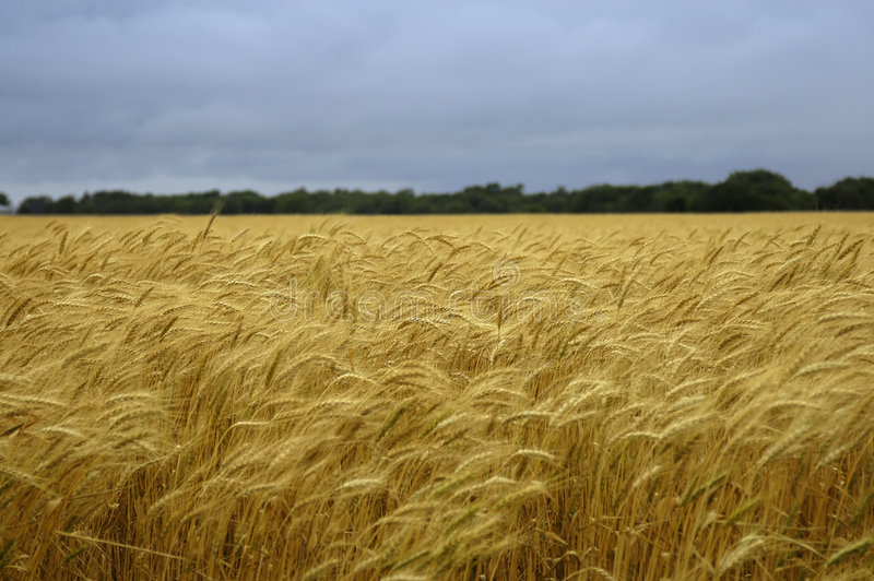 Download Field of wheat stock image. Image of yellow, storm, windy - 104767
