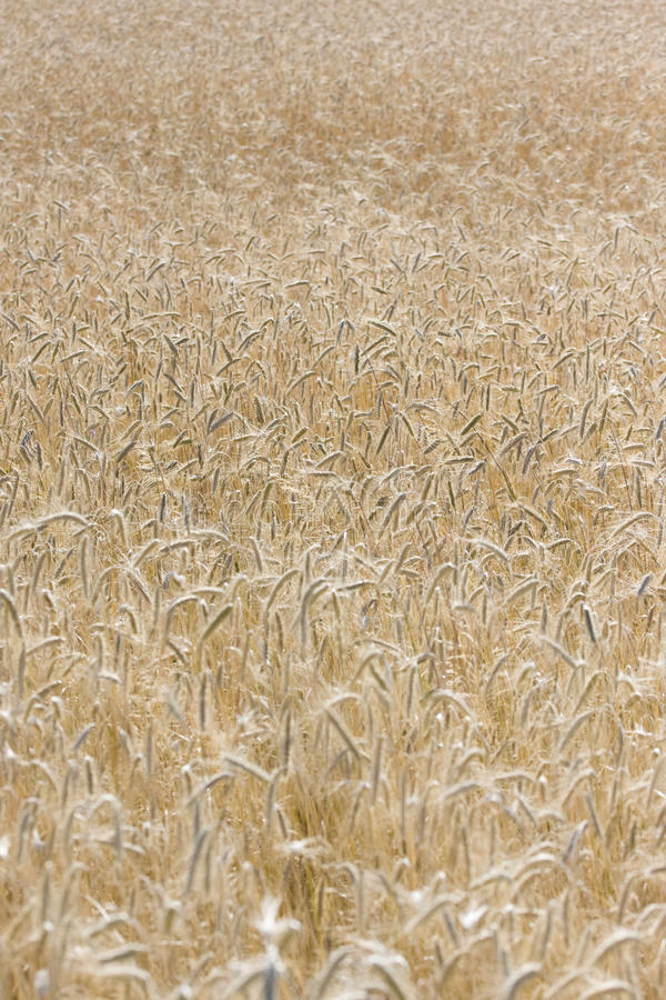 Field with wheat royalty free stock image