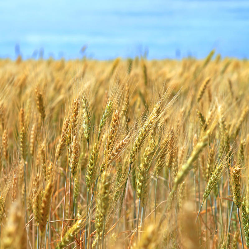Field of wheat stock photos