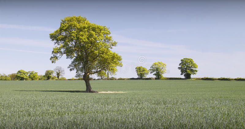 Download Field of wheat stock image. Image of environmental, england - 20157021