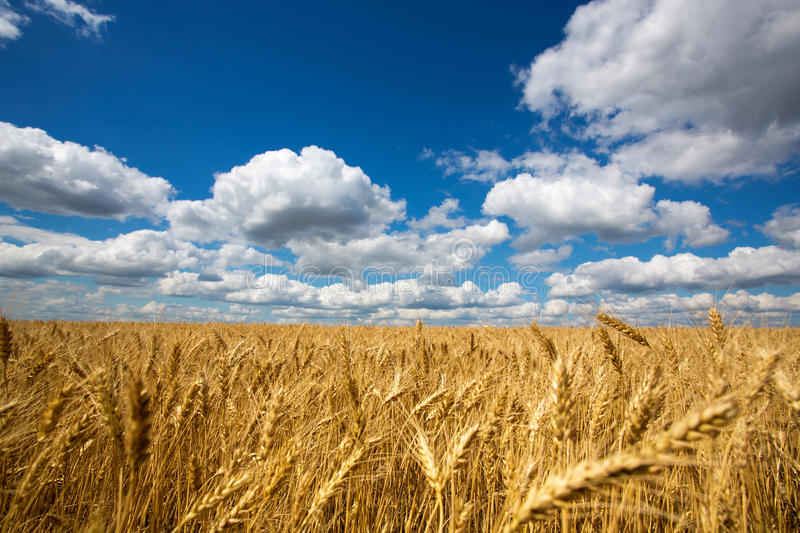 Download Field Of Wheat Royalty Free Stock Photo - Image: 25554495