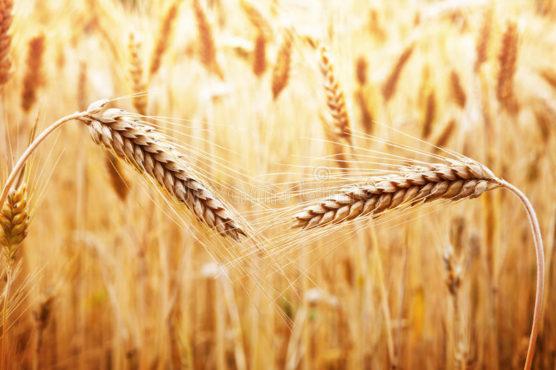 Download Field Of Wheat Royalty Free Stock Image - Image: 25921766