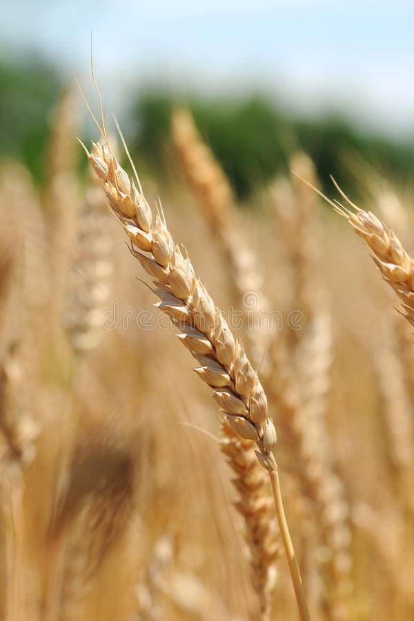 Download Field of Wheat stock photo. Image of agriculture, plantation - 26177580