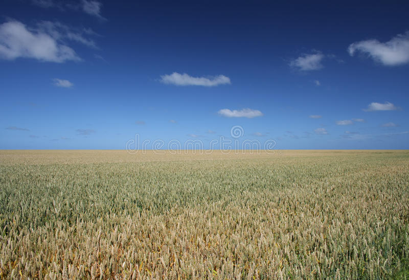 Download Field of wheat stock image. Image of wheat, wheatfield - 27670515