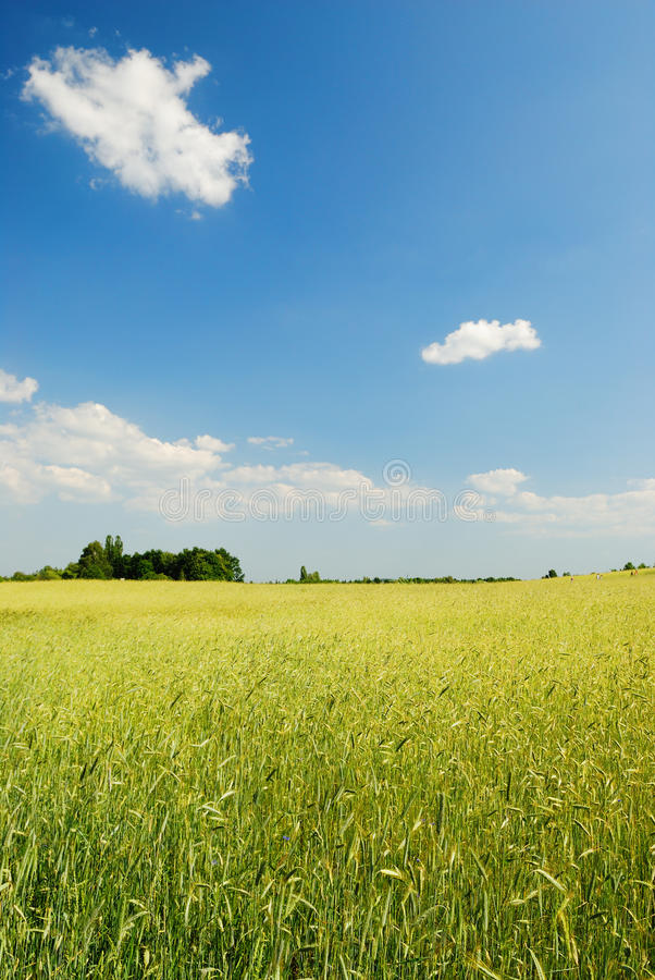 Field of wheat. Yellow  and blue sky on the background stock images