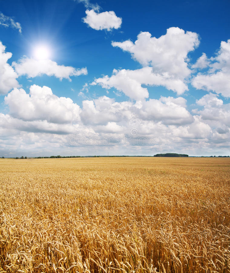 Field of wheat and beautiful blue sky. This is field of wheat and beautiful blue sky stock photo