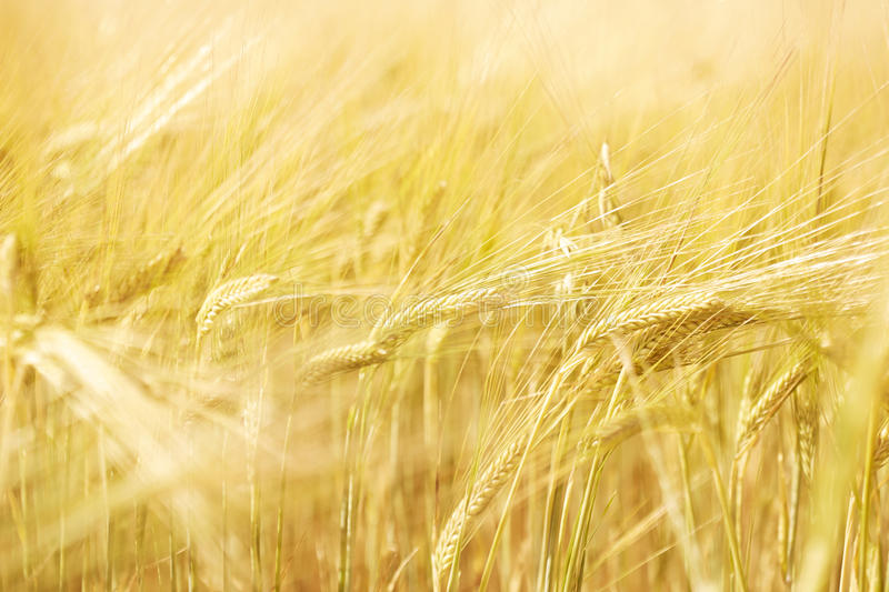 Download Field of wheat stock image. Image of color, stalk, focus - 40912537