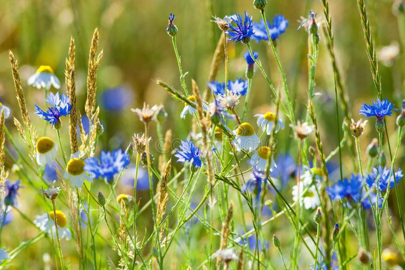Field of Wheat and Cornflowers royalty free stock images