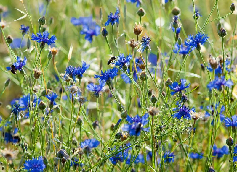 Field of Wheat and Cornflowers royalty free stock photo