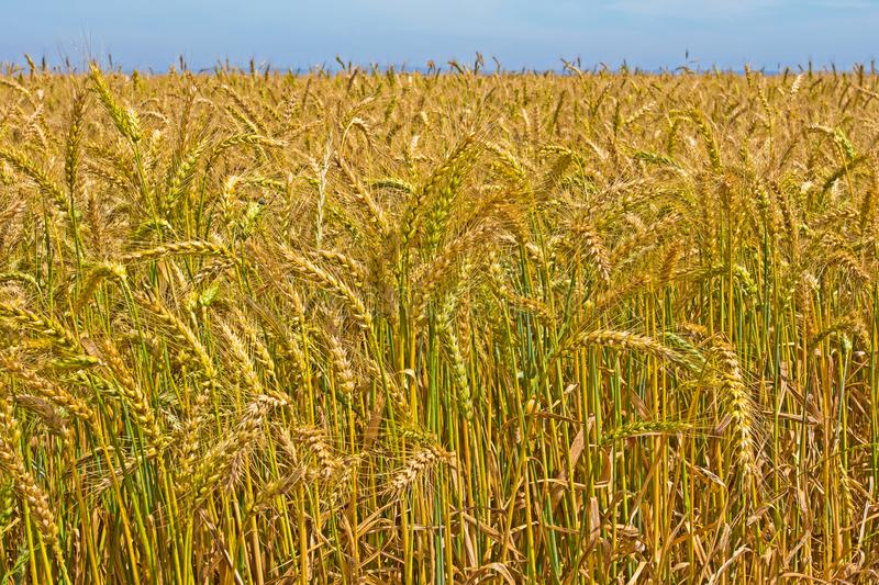 Wheat ready for harvesting stock images