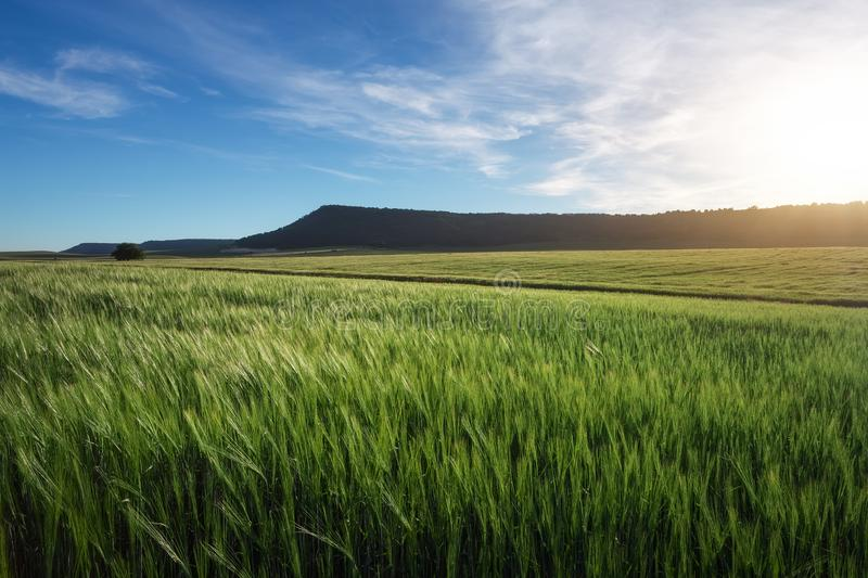 Field of wheat in the morning. royalty free stock image