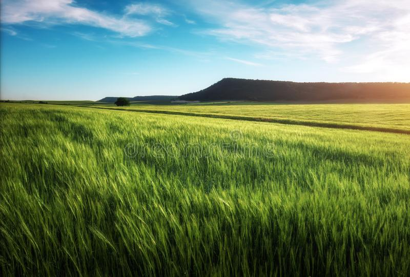 Field of wheat in the morning. royalty free stock photography