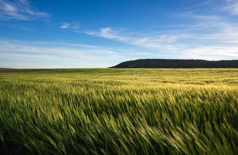 Field of wheat in the morning. royalty free stock photo