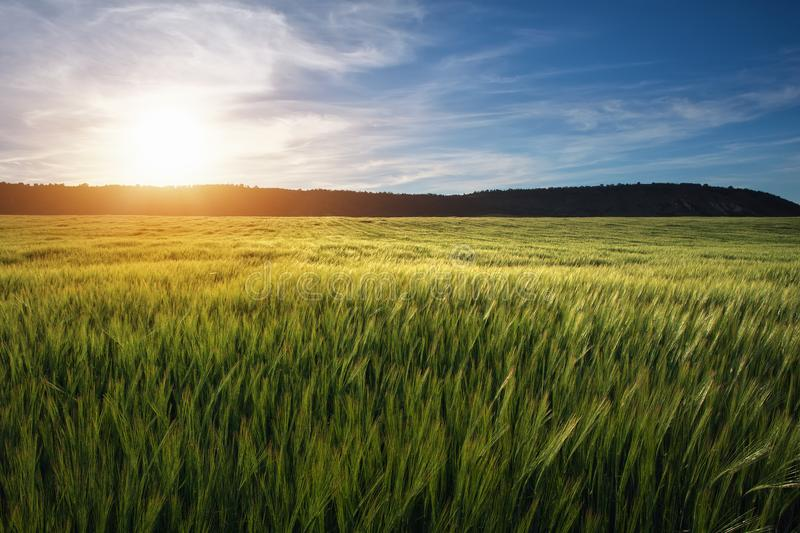 Field of wheat in the morning. stock photography