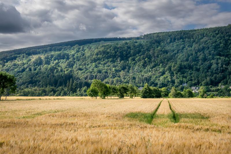 A field of wheat with mountains in the background in Scotland. tractor tracks running through the field royalty free stock images