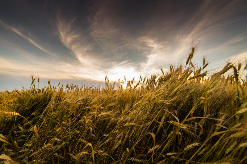 Field of wheat stock photography