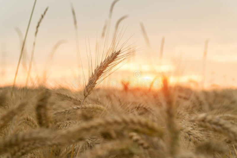 A field of wheat at sunset. Agriculture royalty free stock photos