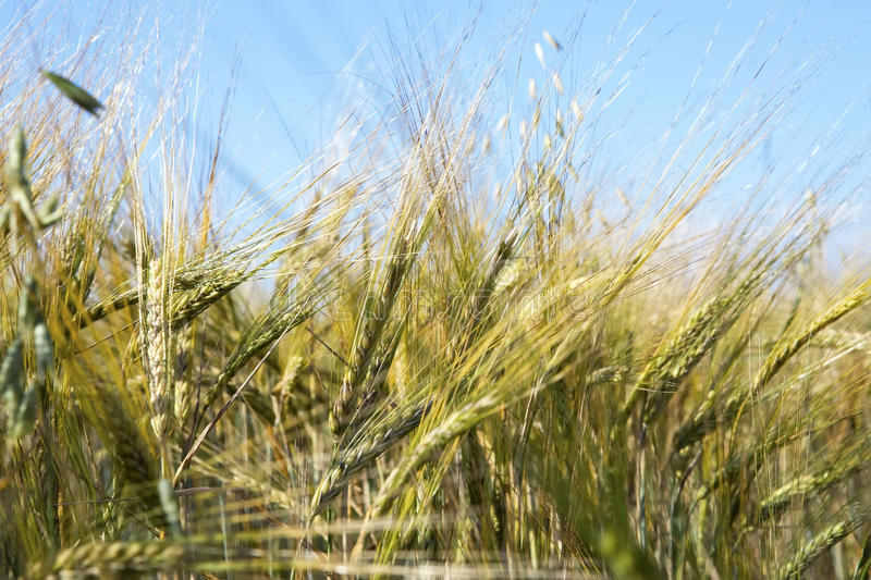 Download Field Of Wheat Under Azure Sky Stock Photo - Image: 14224666